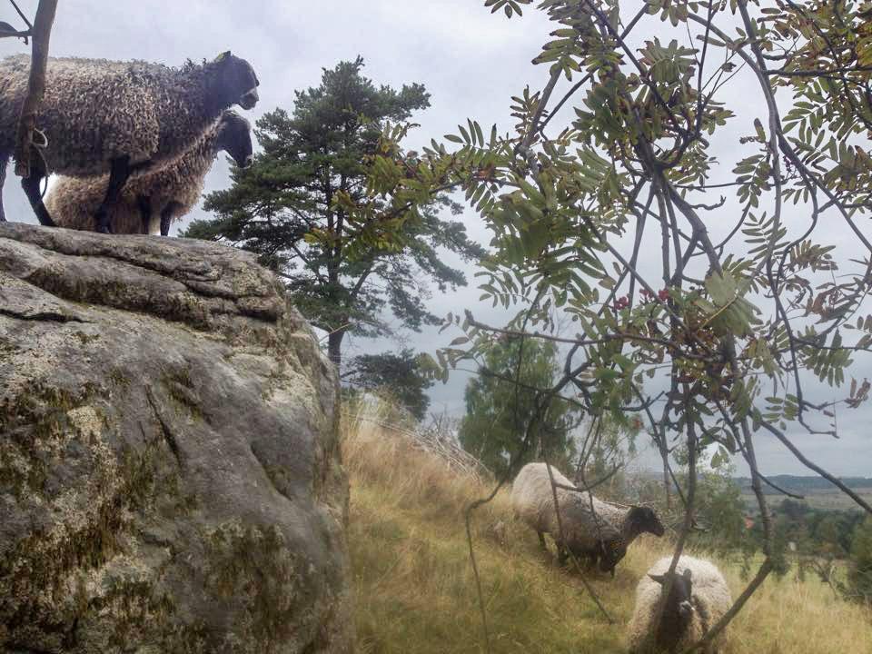 Fåren hjälper till att hålla gräset kort och slyn borta från Ornahög, vår skidbacke med lift.