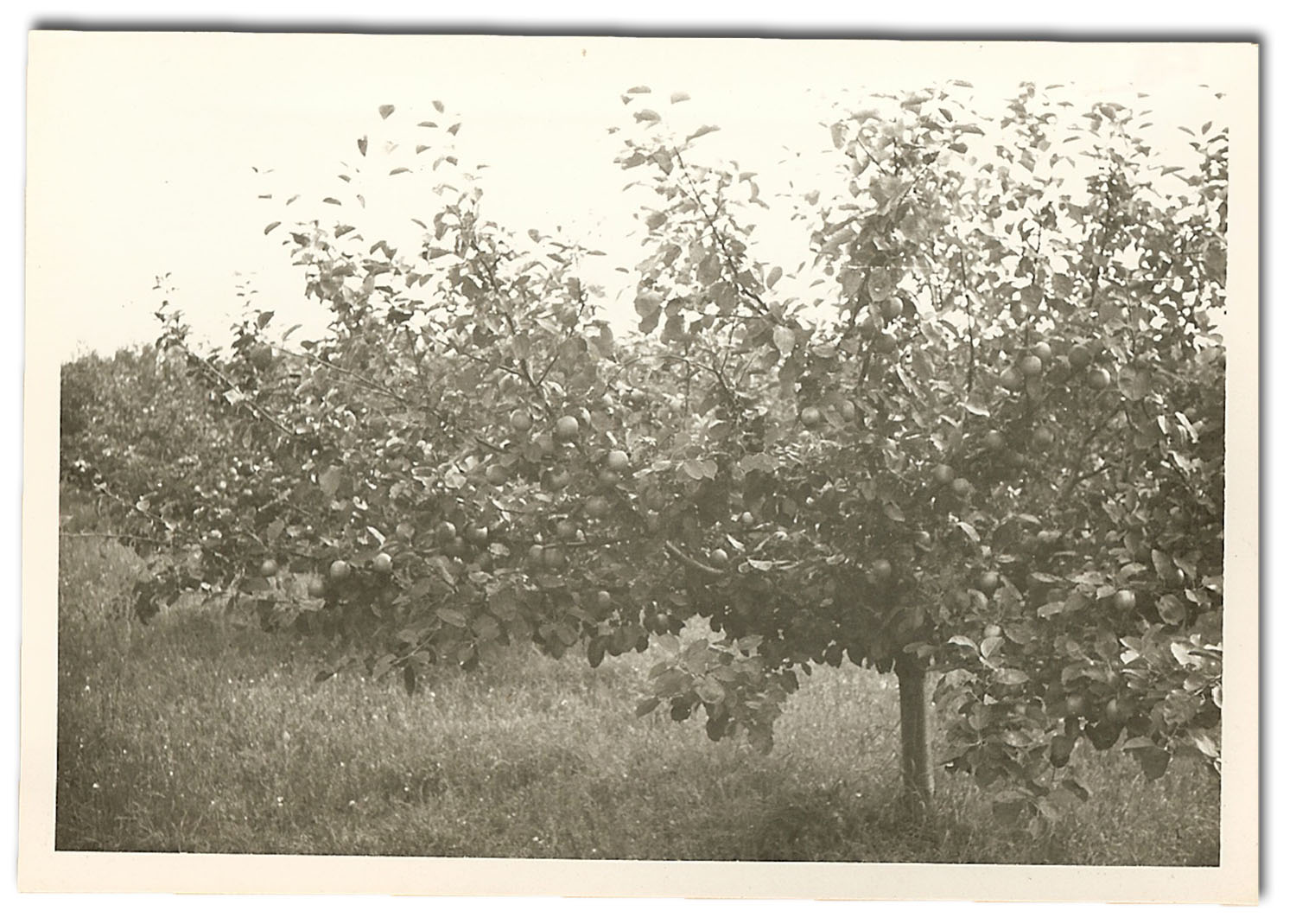 Photo of a 1956 Cox Pomona apple tree at Källagården.