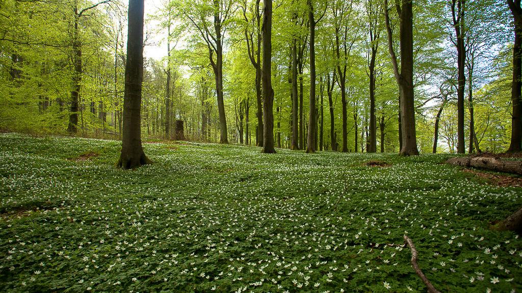 Det finns många sorters skogar runt Brösarp, bland annat bokskogar, som vackrast när löven spirar och vitsipporna blommar.