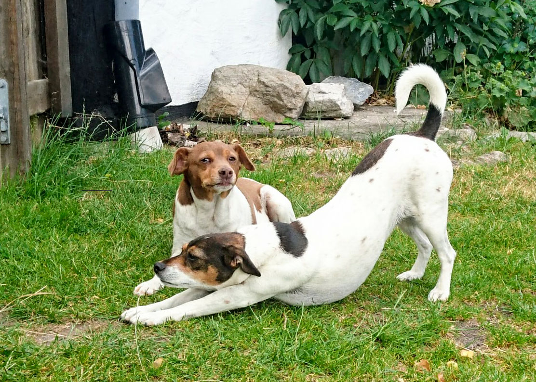 """Gårdshunden Yazzi kopplar av medan hans dotter Milou gör Yoga """"hunden"""" i väntan på nya gäster att bekanta sig med."""